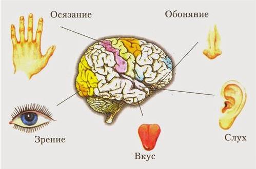 5 органов чувств